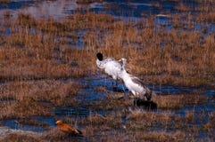 在Tibetï ¼ šWild动物的记忆 库存图片