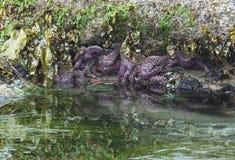 在Tidepool -俄勒冈海岸的海星 库存图片