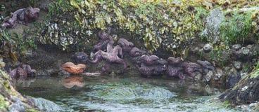 在Tidepool -俄勒冈海岸的海星 库存照片