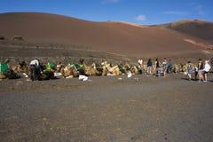 在timanfaya国家公园兰萨罗特岛的骆驼 免版税图库摄影