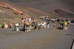 在timanfaya国家公园兰萨罗特岛的骆驼 库存照片