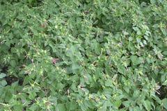 在Tologan增长的植物, Padada,南达沃省,菲律宾 免版税库存照片