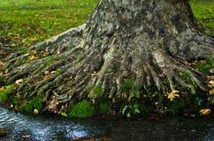 在Topcider公园浇灌通过一棵大老树的根的小河在早晨 免版税库存照片