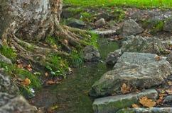 在Topcider公园浇灌通过一棵大老树的根的小河在黎明 库存图片