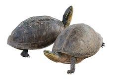在tortoiseon的两只乌龟 库存照片