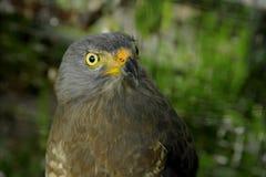 在Toucan抢救大农场,野生生物救援机构的路旁鹰栖息处在圣伊西德罗de埃雷迪亚,哥斯达黎加 免版税库存图片