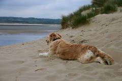 在Touquet的海滩,近的沙丘,法国的一条大狗 库存图片
