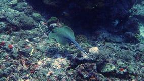 在trawangan的gili的游泳的蓝色被察觉的黄貂鱼 免版税库存照片