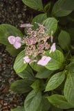 在Trebah庭院的桃红色lacecap hydranges 免版税库存图片