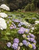 在Trebah庭院,康沃尔郡的八仙花属 免版税库存照片