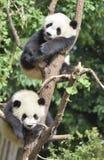 在treeï ¼ 的两大熊猫休息 库存图片