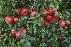 在tree_18的成熟苹果 免版税库存照片