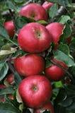 在tree_19的成熟苹果 免版税图库摄影