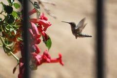 在Trumpter藤的春天蜂鸟 免版税库存图片