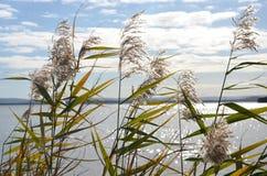 在Tuggerah湖的芦苇 图库摄影