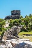 在Tulum墨西哥的鬣鳞蜥 库存照片