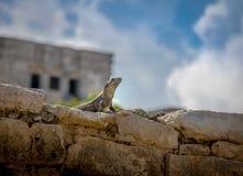 在Tulum,墨西哥玛雅废墟的鬣鳞蜥  免版税图库摄影