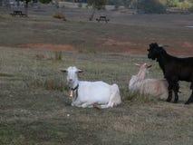 在twilght的山羊 库存照片