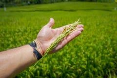 在Ubud供以人员拿着钉米在他的手上,在一个绿色米领域后,巴厘岛,印度尼西亚 免版税图库摄影