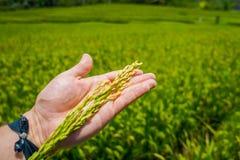 在Ubud供以人员拿着钉米在他的手上,在一个绿色米领域后,巴厘岛,印度尼西亚 库存照片
