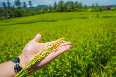 在Ubud供以人员拿着钉米在他的手上,在一个绿色米领域后,巴厘岛,印度尼西亚 免版税库存图片