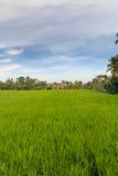 在Ubud附近的米大阳台 免版税库存照片