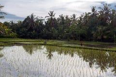 在Ubud附近的Ricefield 免版税库存图片