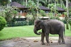 在Ubud,巴厘岛附近的大象公园 免版税库存图片