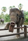 在Ubud,巴厘岛附近的大象公园 免版税库存照片