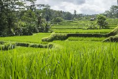 在Ubud,巴厘岛,印度尼西亚小山的露台的ricefield  图库摄影
