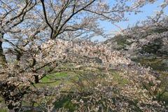 在Umahori,京都的樱花 库存照片