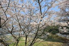 在Umahori,京都的樱花 免版税库存图片