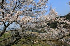在Umahori,京都的樱花 库存例证
