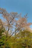 在Umahori,京都的樱花 免版税图库摄影
