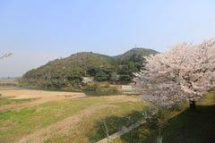 在Umahori,京都的樱花 免版税库存照片