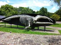 在Unisinos,圣地莱奥波尔多,巴西的鲸鱼骨头 免版税库存照片