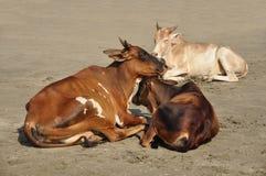 在Vagator海滩的母牛在果阿 图库摄影
