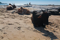 在Vagator海滩的美丽的母牛 免版税图库摄影