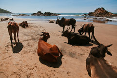 在Vagator海滩的美丽的母牛 库存照片