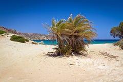 在Vai海滩的克里特岛枣椰子结构树 库存图片