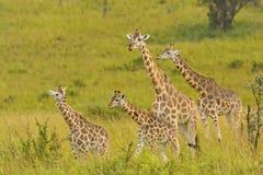 在Veldt的长颈鹿家庭 免版税库存照片