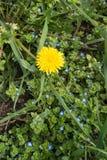 在veronica上许多蓝色花的唯一蒲公英  库存图片