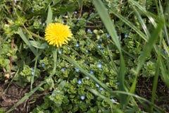 在veronica中蓝色花的唯一蒲公英  库存图片