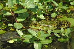 在Veronica beccabunga之间的池蛙 免版税库存照片