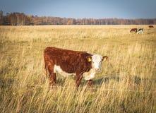 在Vestamager的领域的母牛 免版税库存照片