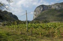 在Viñales的小palmtree 免版税图库摄影
