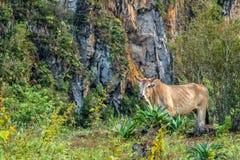 在Viñales谷视图的古巴公牛在古巴 与湖的虚幻的自然,山,树,野生生物 Gorgeus天空 库存照片