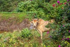 在Viñales谷视图的古巴公牛在古巴 与湖的虚幻的自然,山,树,野生生物 Gorgeus天空 免版税图库摄影
