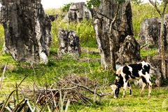在Viñales谷视图的古巴母牛在古巴 与湖的虚幻的自然,山,树,野生生物 Gorgeus天空 免版税图库摄影