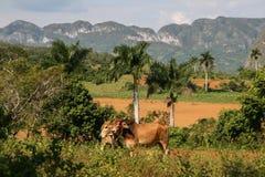 在Viñales谷(古巴)的母牛 免版税图库摄影